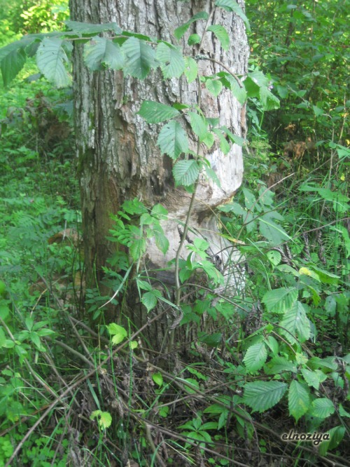 Nunca habia visto un árbol atacado por castores