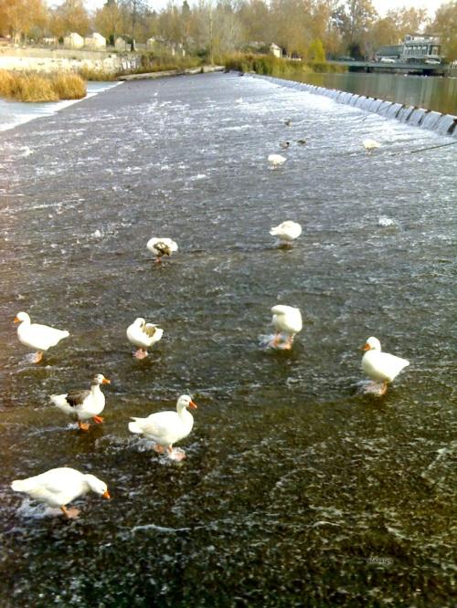 Excelentísimas aves acuáticas.